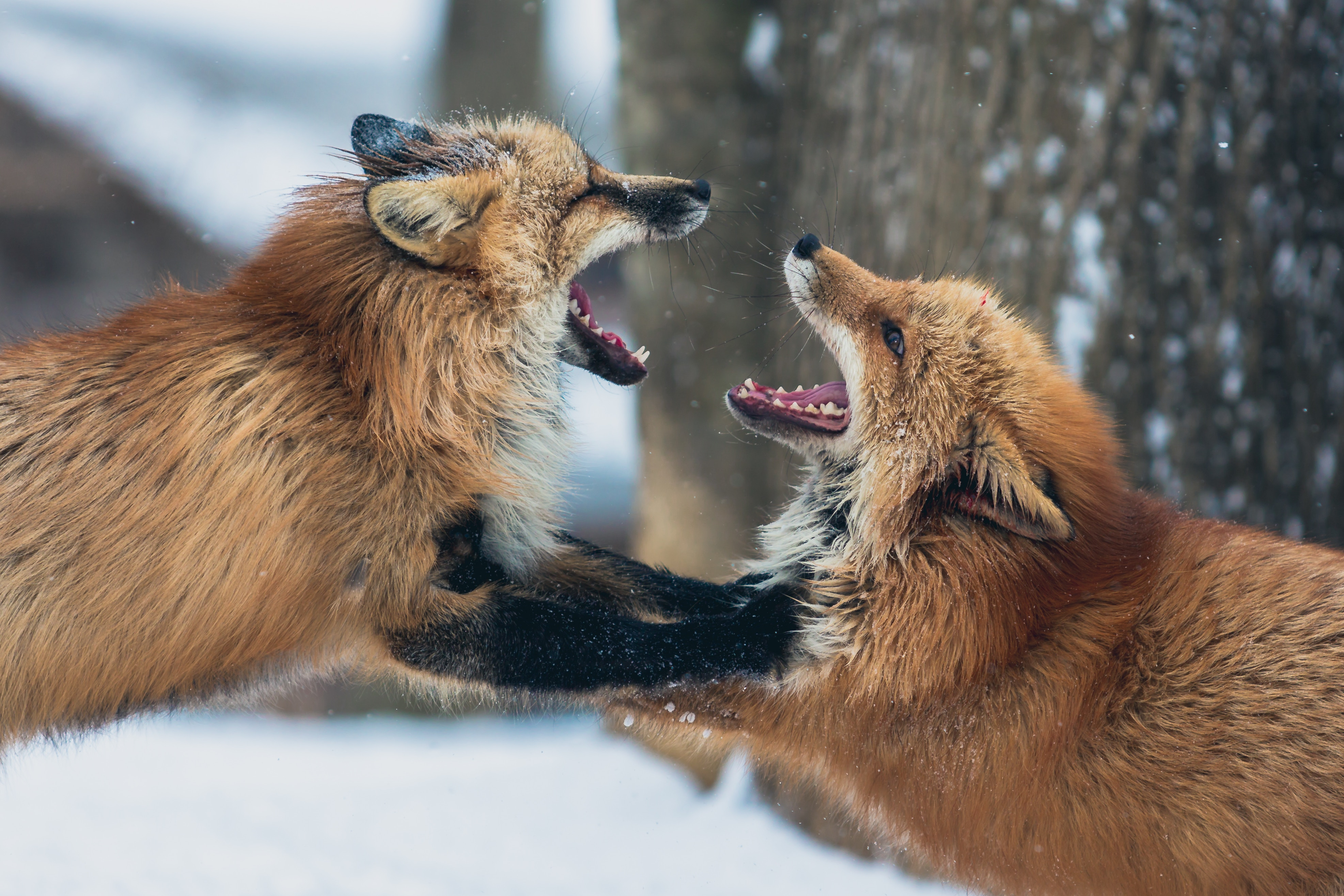 Two foxes charging at each other.